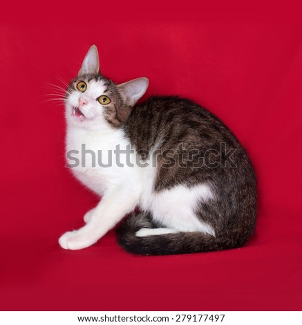 Striped and white cat teenager lies on red background - stock photo