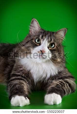 striped cat, tabby - stock photo