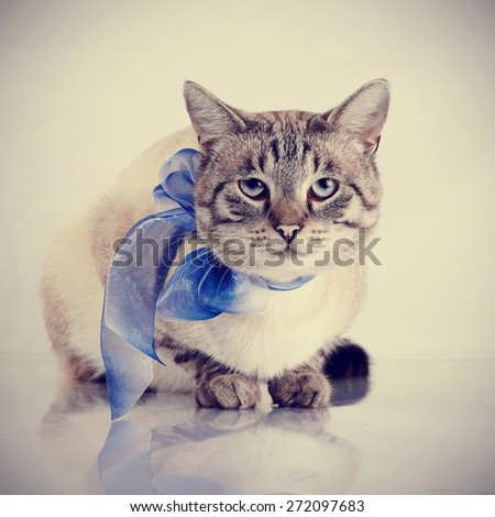 Striped domestic blue-eyed cat with a blue tape. Cat with a bow.  - stock photo