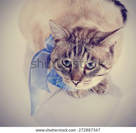 Striped domestic blue-eyed cat with a tape. Cat with a bow.  - stock photo