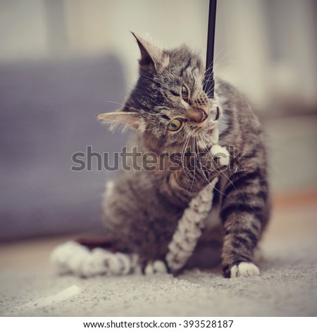 Striped domestic cat with yellow eyes plays. - stock photo