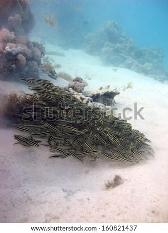 Striped eel catfish school - stock photo