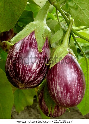 striped eggplants growing in the garden - stock photo