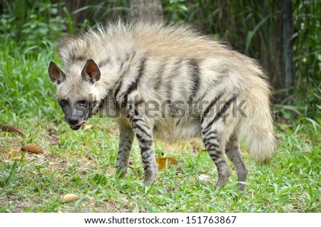 Striped hyenas have a broad head with dark eyes, a thick muzzle, and large, pointed ears. - stock photo