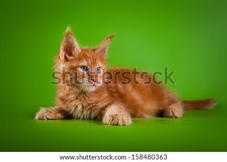 striped kitten. Kittens Maine-Coon - stock photo