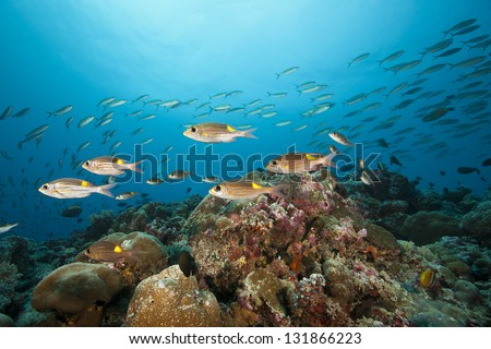 Striped Large-eye Bream (Gnathodentex aureolineatus) on a tropical coral reef off the islands of Palau in Micronesia. - stock photo