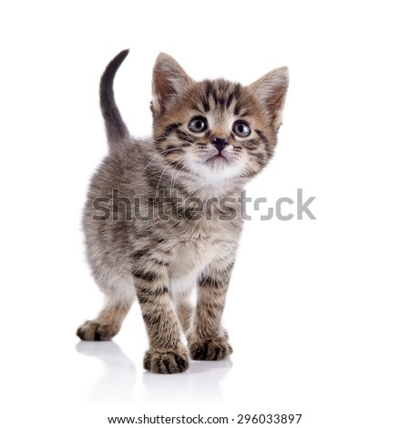 Striped lovely domestic kitten on a white background. - stock photo