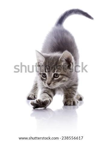 Striped not purebred kitten. Kitten on a white background. Amusing gray kitten. Small predator. Small cat. - stock photo