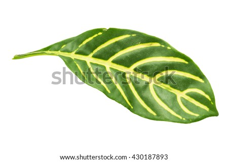 striped on leaves isolated on white background - stock photo