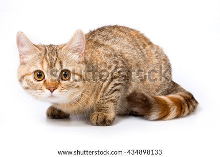 Striped red british cat (isolated on white) - stock photo