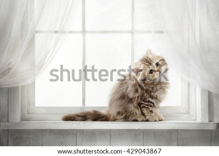 Striped red purebred cat looking out the window on a sunny day - stock photo