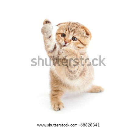 Striped Scottish kitten fold pure breed playing ball isolated - stock photo