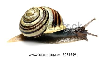 Striped snail on white background - stock photo