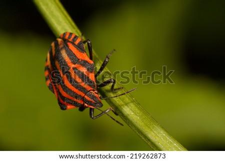Striped stinkbug - stock photo