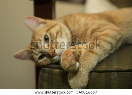 Striped Tabby cat deep in thought on chair with paws crossed - stock photo