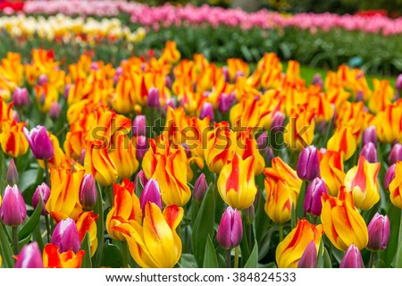 Striped tulips flowerbed of synadea king and giuseppe verdi violet tulips in the garden and park in Keukenhof near Amsterdam - stock photo