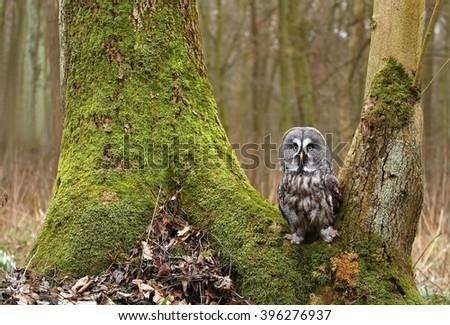 Strix nebulosa owl on mossy tree - stock photo