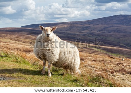 Strong and tough sheep standing in the landscape of Ireland - stock photo