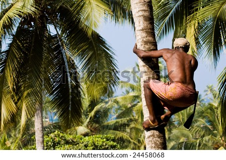Strong deft indian man picking coconut in Kerala, India - stock photo