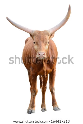 Strong red brown bull ox isolated on white background  - stock photo