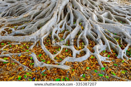 Strong roots of old tree with fresh green and dry orange leaves - stock photo