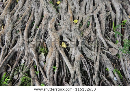 Strong roots of old trees. - stock photo