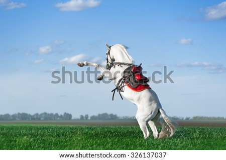 Strong white stallion stands on its hind legs in a green field against the blue sky. The horse in the saddle and ammunition performs a trick on the commands. - stock photo