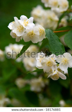 strongly smelling white flowers of a jasmin and green leaves - stock photo