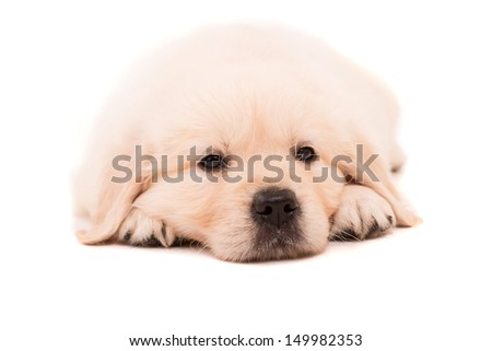 Studio photo of a baby golden retriever, isolated over a white background - stock photo