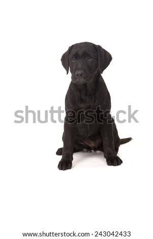 Studio photo of a baby labrador retriever, isolated over a white background - stock photo