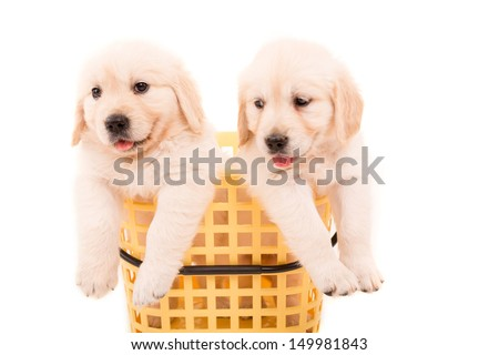 Studio photo of baby golden retrievers, isolated over a white background - stock photo