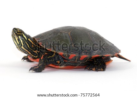 Studio photograph of a Midland Painted Turtle from a midwestern wetland isolated against a white background. - stock photo