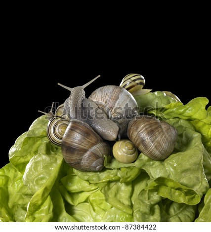 studio photography of a head of lettuce and some snails in black back - stock photo