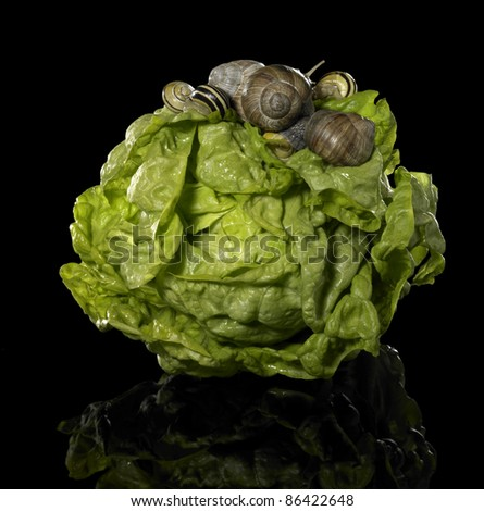 studio photography of a head of lettuce and some snails in black reflective back - stock photo