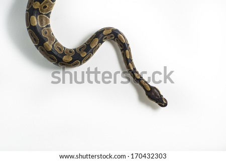 Studio picture with a white background of a juvenile king cobra snake specie.  - stock photo