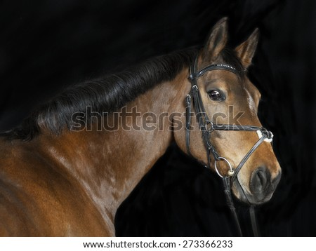 Studio portrait of a brown Oldenburg sport horse with black background - stock photo