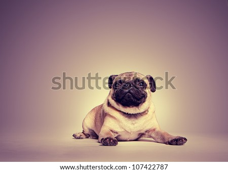 Studio portrait of a pug lying on the floor with a toned background with highlight around the dog - stock photo