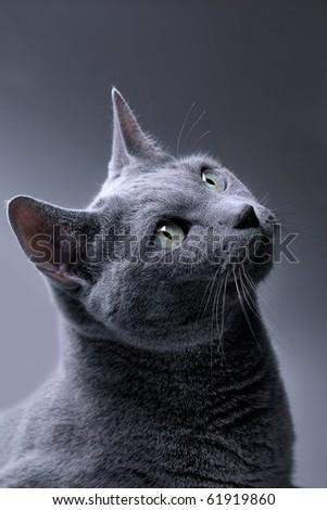 Studio Portrait of a russian blue cat - stock photo