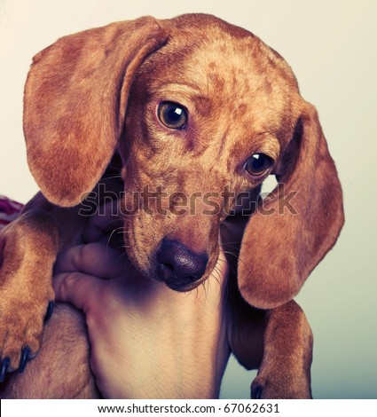 Studio portrait of a young charming woman holding a dachshund - stock photo