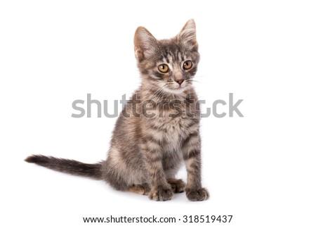 Studio portrait of adorable young grey kitten - stock photo