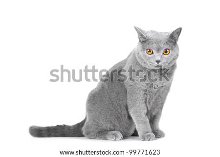 Studio portrait  of beautiful young British blue cat sitting on isolated white background - stock photo
