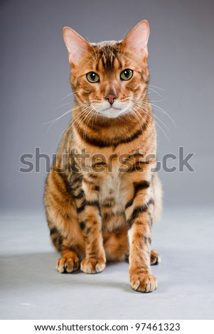 Studio portrait of bengal cat isolated on grey background - stock photo