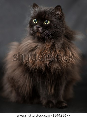 Studio portrait of black british long hair cat with green-yellow eyes on black background  - stock photo