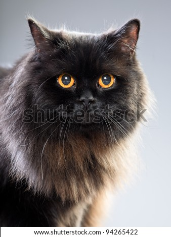 Studio portrait of black british long hair cat with yellow eyes isolated on grey background - stock photo