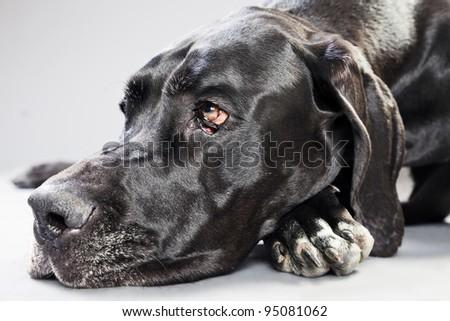 Studio portrait of black danish dog isolated on grey background - stock photo