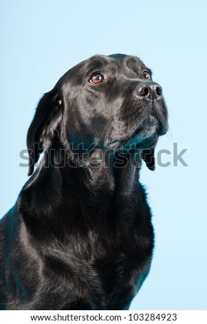 Studio portrait of black labrador isolated on light blue background. - stock photo