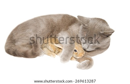 Studio portrait of chartreux cat embraced a little bunny isolated on white background. - stock photo