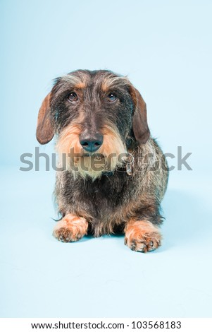 Studio portrait of cute brown black dachshund isolated on light blue background. - stock photo