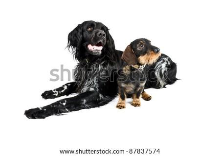 Studio portrait of dachshund and munsterlander together isolated on white background - stock photo