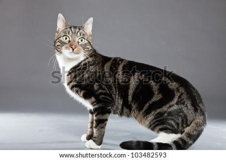 Studio portrait of grey striped cat with white chest isolated on grey background. - stock photo